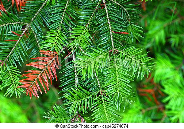 Balsam Fir (Abies balsamea) Needles - csp45274674