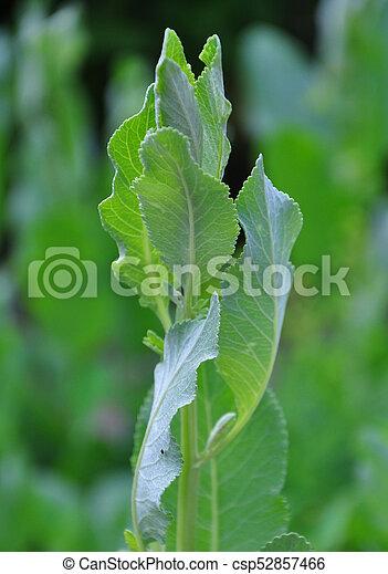 Costmary (Tanacetum balmita) - csp52857466