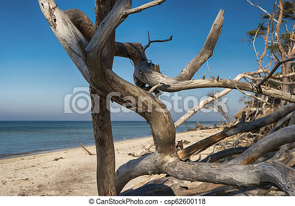 Baltic Sea Coast on Darss in Germany - csp62600118