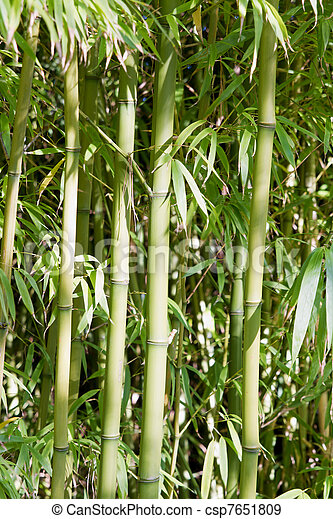 Bamboo Forest in Japanese Garden - csp7651809
