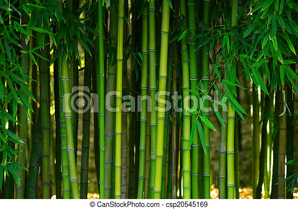 bamboo forest - csp20545169