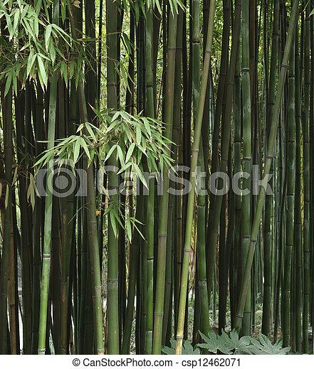 bamboo grove - csp12462071
