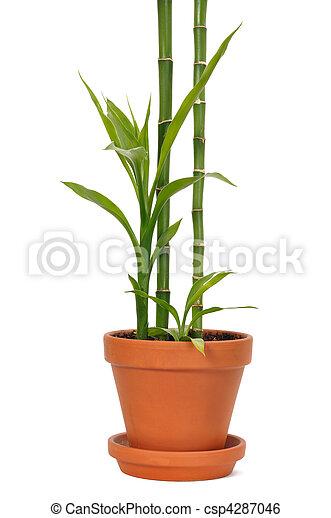 Bamboo in a Pot - csp4287046