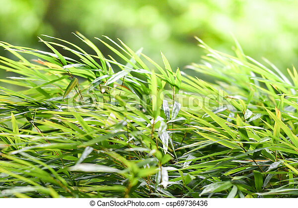 Bamboo leaves on nature green blur background in the bamboo forest tree in asia - csp69736436