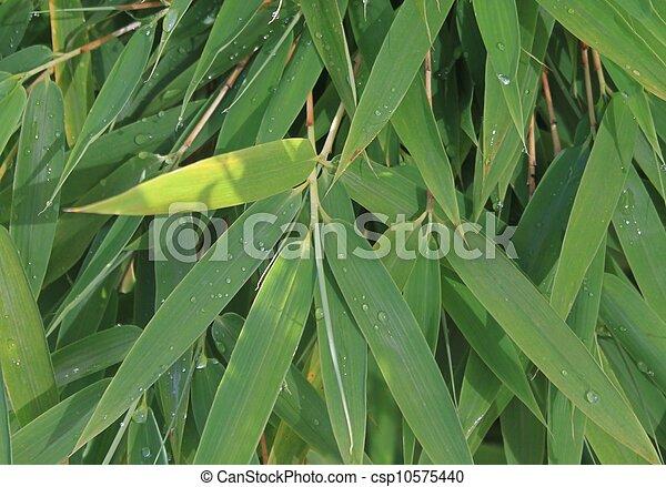Bamboo - csp10575440