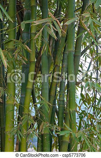 bamboo trees - csp5773706