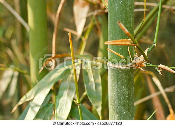 Bamboo trees. - csp26877120
