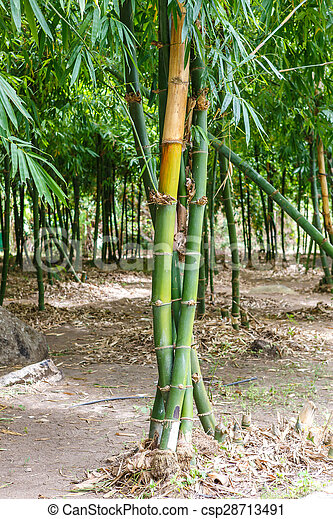 Bamboo trees - csp28713491