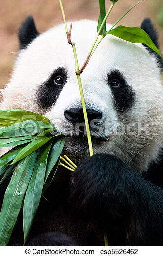 bambu, comer, panda - csp5526462