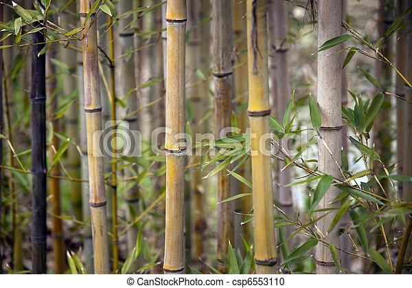 bambusowe drzewa - csp6553110
