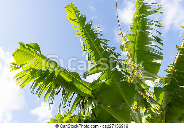 Banana Leaves - csp27156919