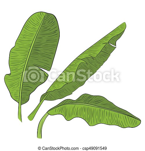 Banana Leaves Vector Green Eps