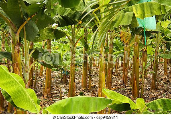 banana, monocultura - csp9459311