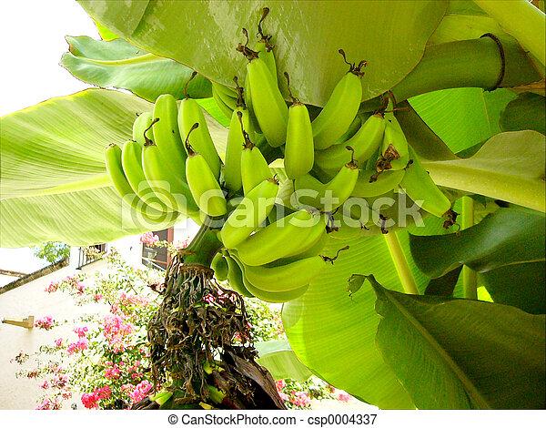 Banana Plant - csp0004337