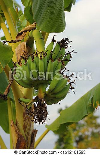 Banana - csp12101593