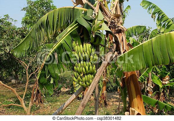 Banana Tree In Garden Fruit