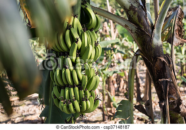banana tree in the farm - csp37148187