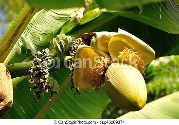 banana tree - csp46269374