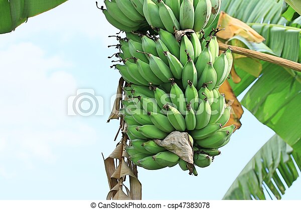 Banana tree - csp47383078