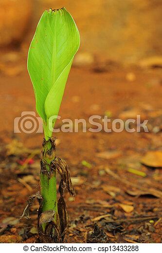 Banana tree - csp13433288