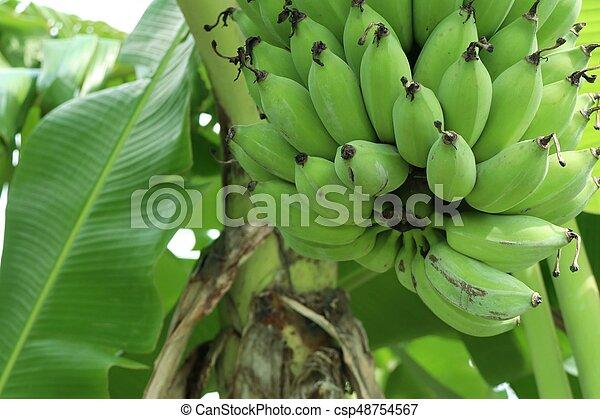 Banana tree - csp48754567