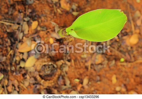 Banana tree - csp13433296
