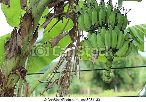 banana tree - csp50811331