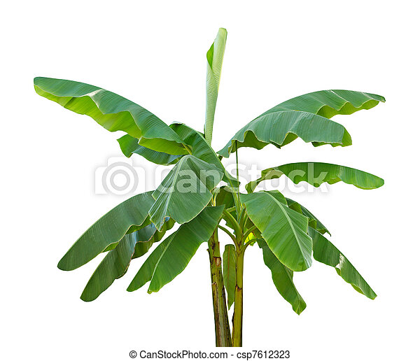 banana trees isolated on white background stock photos search rh canstockphoto com banana tree pictures clip art banana tree leaves clip art