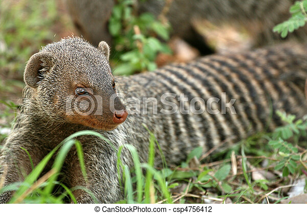 Banded Mongoose - Tanzania, Africa - csp4756412