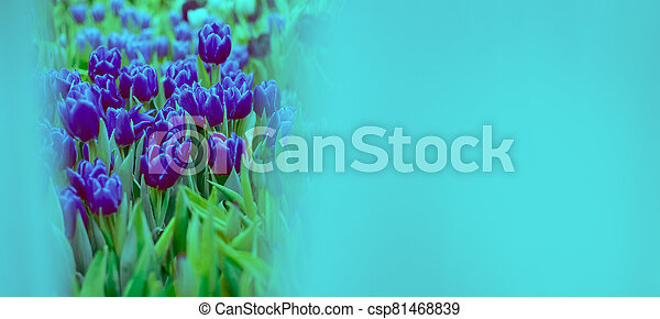 Banner mock up pink tulip toned blue. Group of colorful flowers.. Soft selective focus - csp81468839