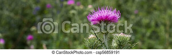 Banner of Thistle buds and flowers on a summer field - csp56859191
