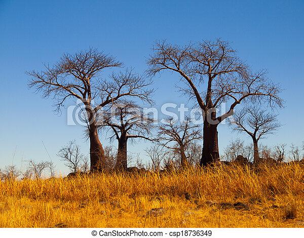 El paraíso Baobab cerca de Savuti - csp18736349