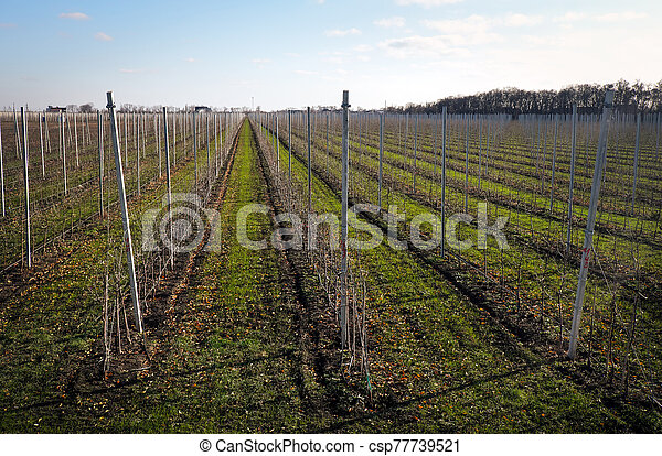 Bare vineyard in the autumn with empty rows of vines - csp77739521