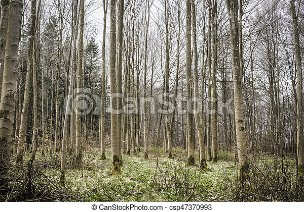 Barenaked trees in a forest in the spring - csp47370993