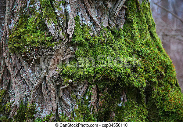 bark of tree covered with green moss - csp34550110