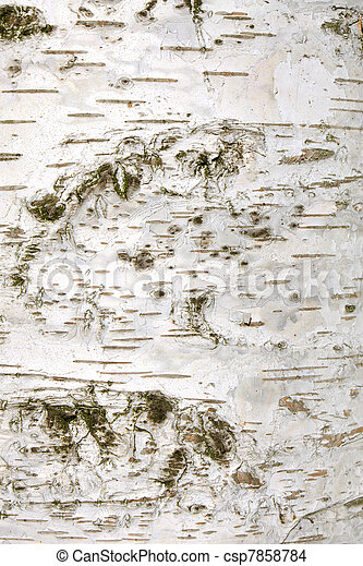 Bark of white birch tree - csp7858784