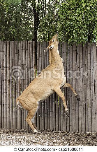 Barking deer - csp21680811