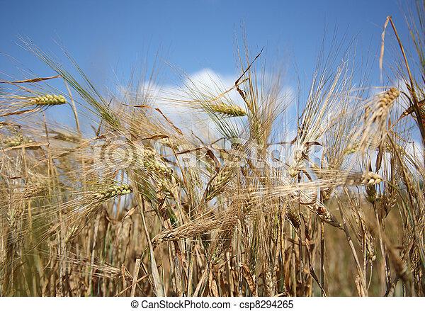 Barley field on a sunny summer day - csp8294265
