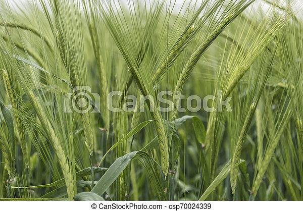 Barley field - csp70024339