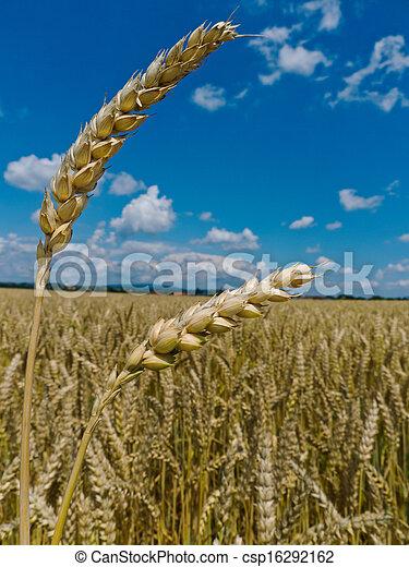 barley in a field - csp16292162