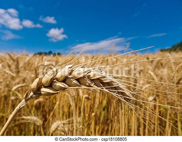 barley in a field - csp18108805