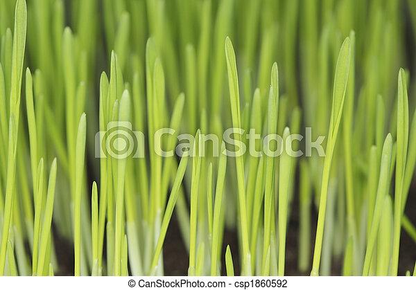 Barley seedlings - csp1860592