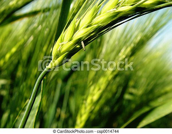 barley spikes - csp0014744