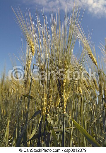 Barley - csp0012379