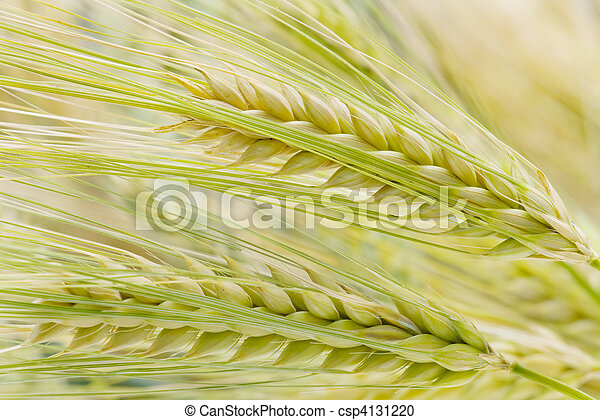 barley - csp4131220