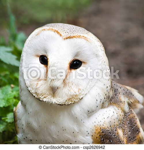 Barn owl or Church owl - square image - csp2626942