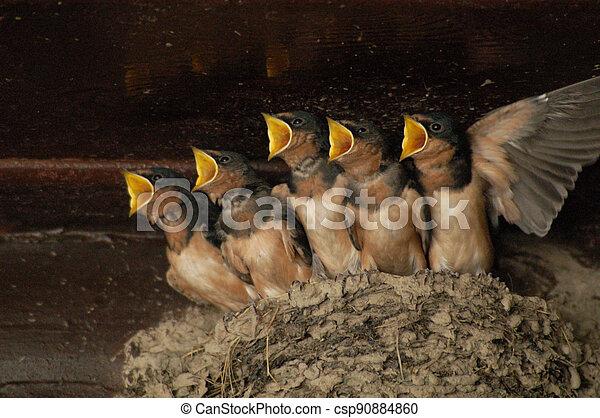 Barn Swallow Babies - csp90884860