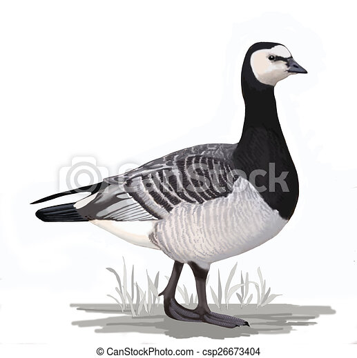 Barnacle Goose - csp26673404