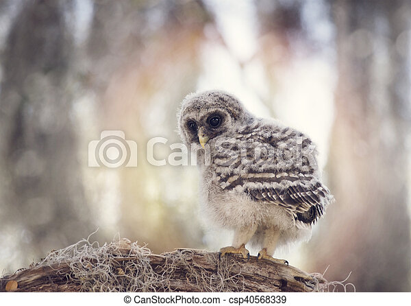 Barred Owlet on a Branch - csp40568339