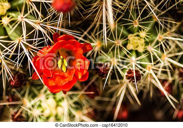 Barrel Cactus Flowers - csp16412010